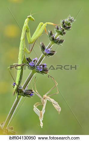 Stock Photography of European mantis (Mantis religiosa) on meadow.