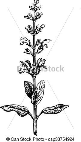 Vector Illustration of Sage or Salvia, vintage engraving..