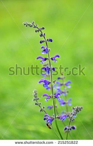 Salvia Pratensis Stock Photos, Royalty.