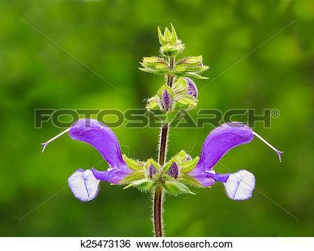 Stock Images of Meadow Sage (Salvia Pratensis) k25473136.