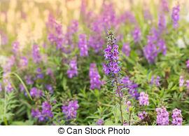 Stock Photo of Salvia pratensis.