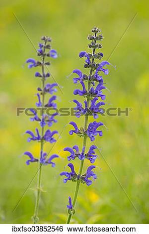 "Stock Images of ""Meadow Sage (Salvia pratensis), flowering."