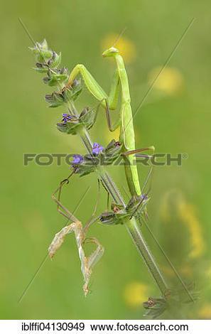 Stock Photograph of European mantis (Mantis religiosa) on meadow.