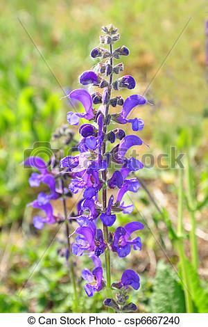Stock Photography of Meadow sage (Salvia pratensis) csp6667240.