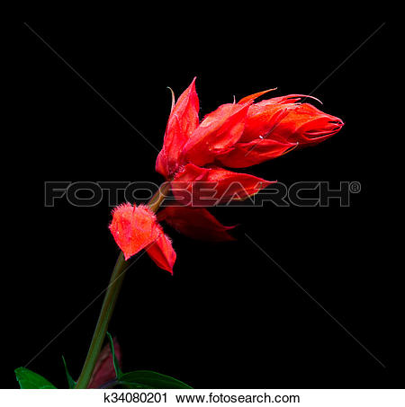 Stock Photography of Closeup of red salvia splendens flower on.