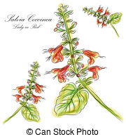 Vector Clip Art of Red Sage Flowers or Salvia Splendens Flower.