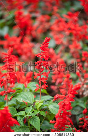 Salvia Splendens Stock Photos, Royalty.