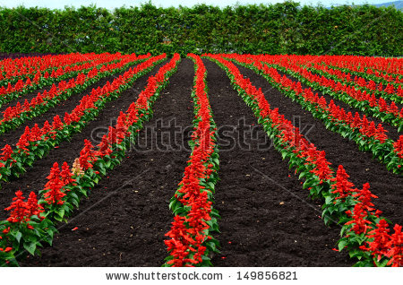 Salvia Splendens Scarlet Sage Tropical Sage Stock Photo 149856821.