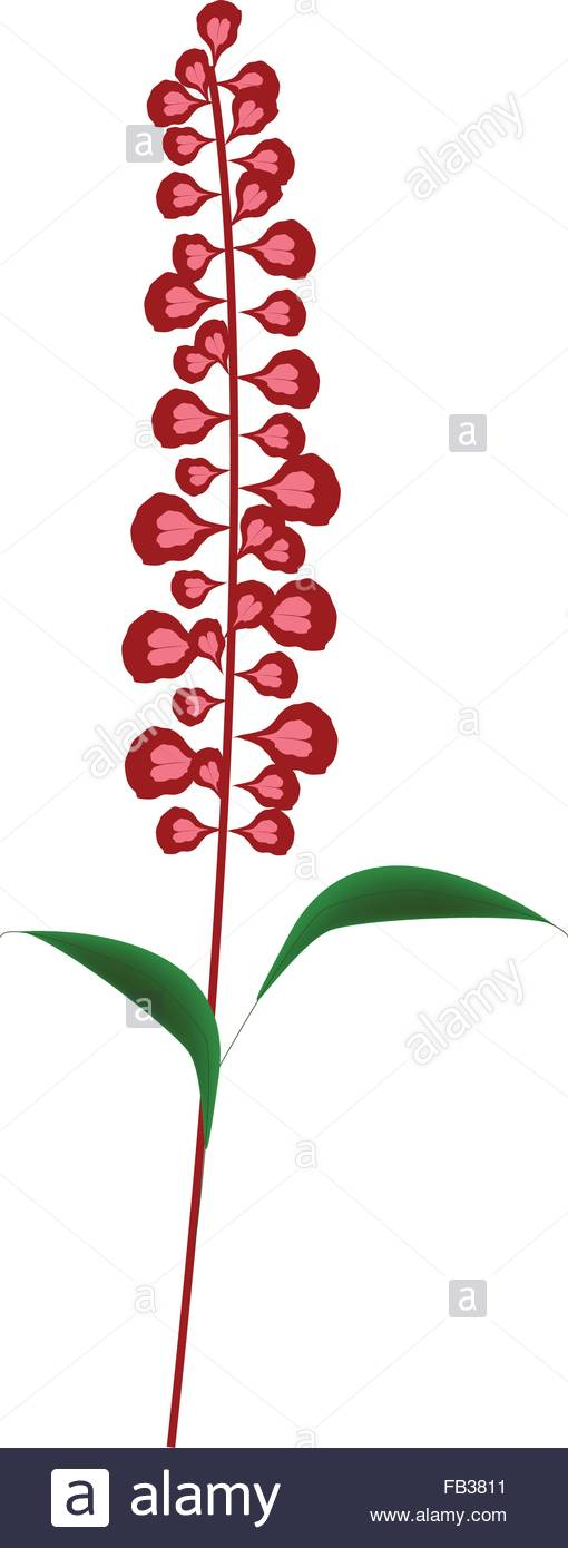 Beautiful Flower, Illustration Of Scarlet Sage Flowers Or Salvia.