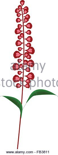 Tropical Sage Salvia Splendens Stock Photos & Tropical Sage Salvia.