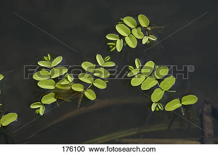 Stock Photography of Floating Moss, Floating Fern (Salvinia natans.