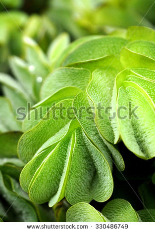 Salvinia Stock Photos, Royalty.