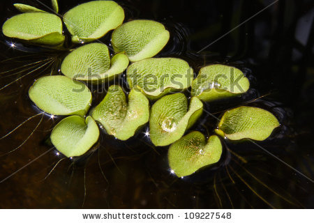 Salvinia Natans, Or Water Butterfly Wings, Covered In Water.