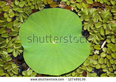 Salvinia Natans Stock Photos, Images, & Pictures.