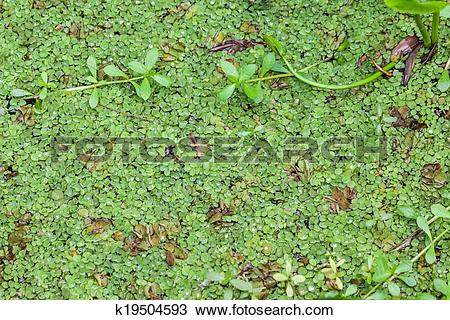 Stock Photo of Salvinia natans k19504593.