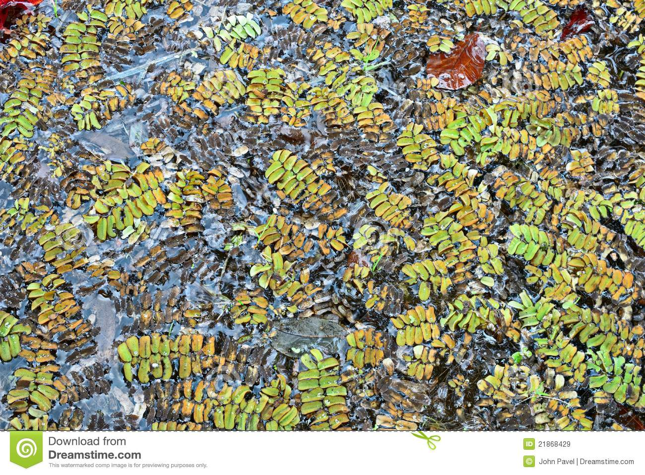 Salvinia Natans, An Aquatic , Floating Fern Royalty Free Stock.