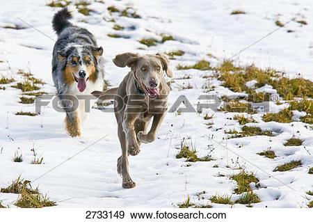 Stock Photograph of Australian Shepherd and Weimaraner dog running.