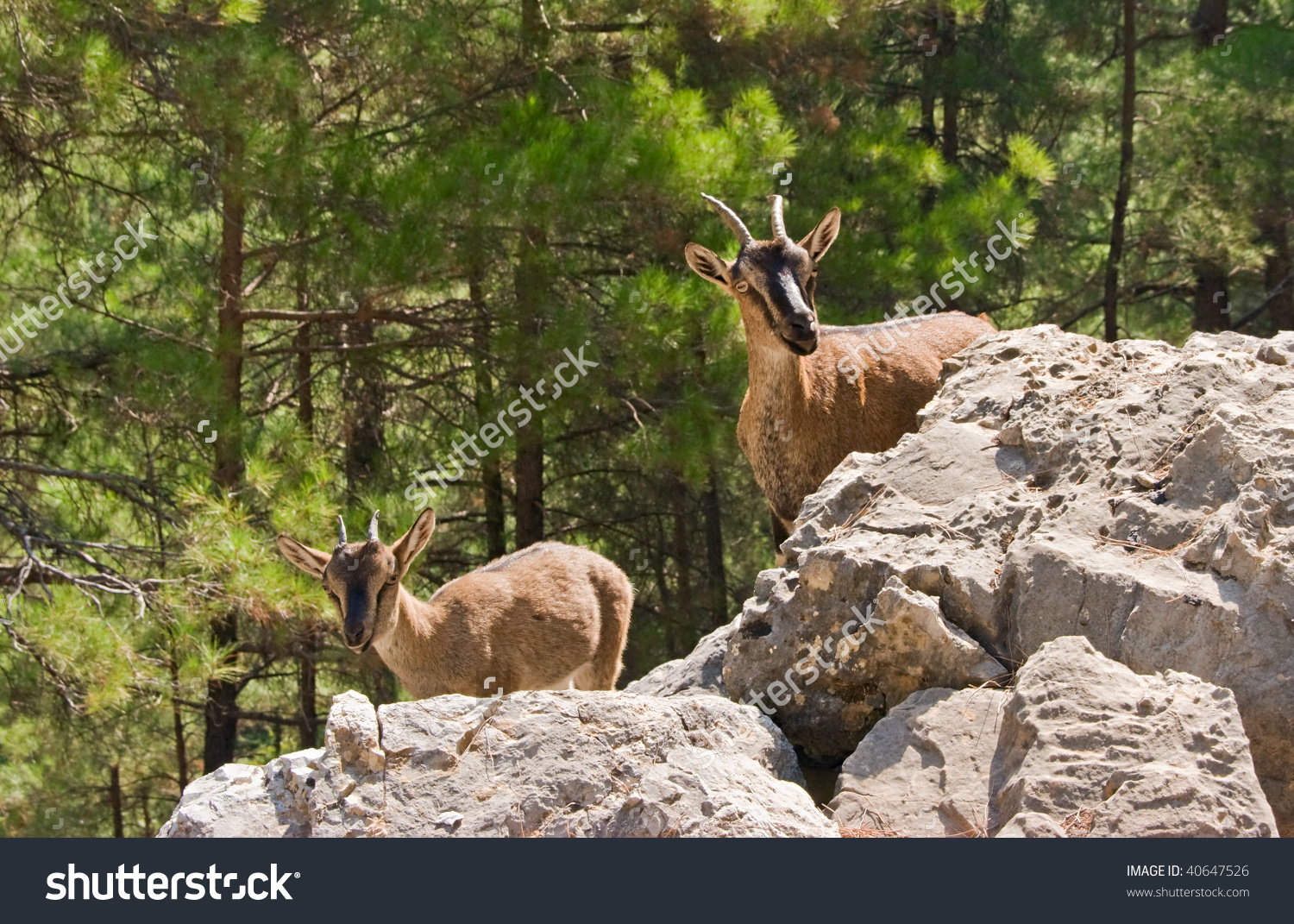 Wild Goats Krikri Samaria Gorge Crete Stock Photo 40647526.