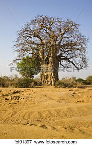 Picture of Africa, Sambia, Baobab Tree on savannah fof01397.