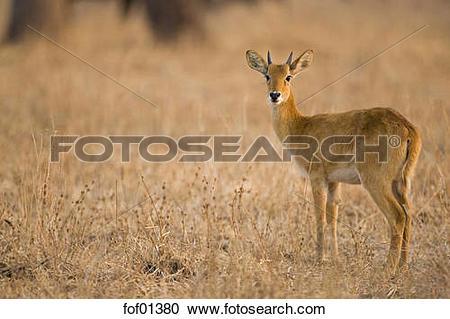 Stock Photography of Africa, Sambia, Puku (Kobus vardonii.