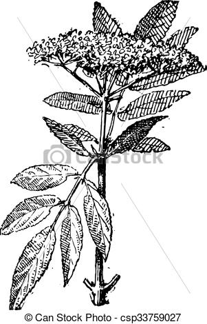 Vector Illustration of Elderberry or Sambucus, vintage engraving.
