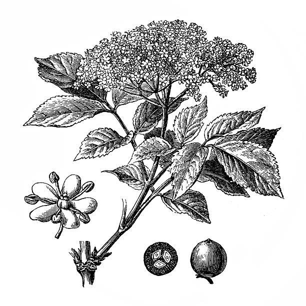 Elderberry Clip Art, Vector Images & Illustrations.