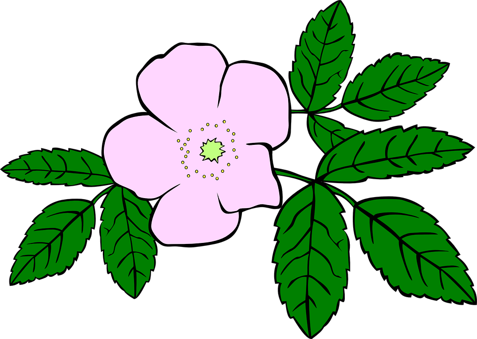 Free vector graphic: Rosa, Rose, Purple, Flower, Leaves.