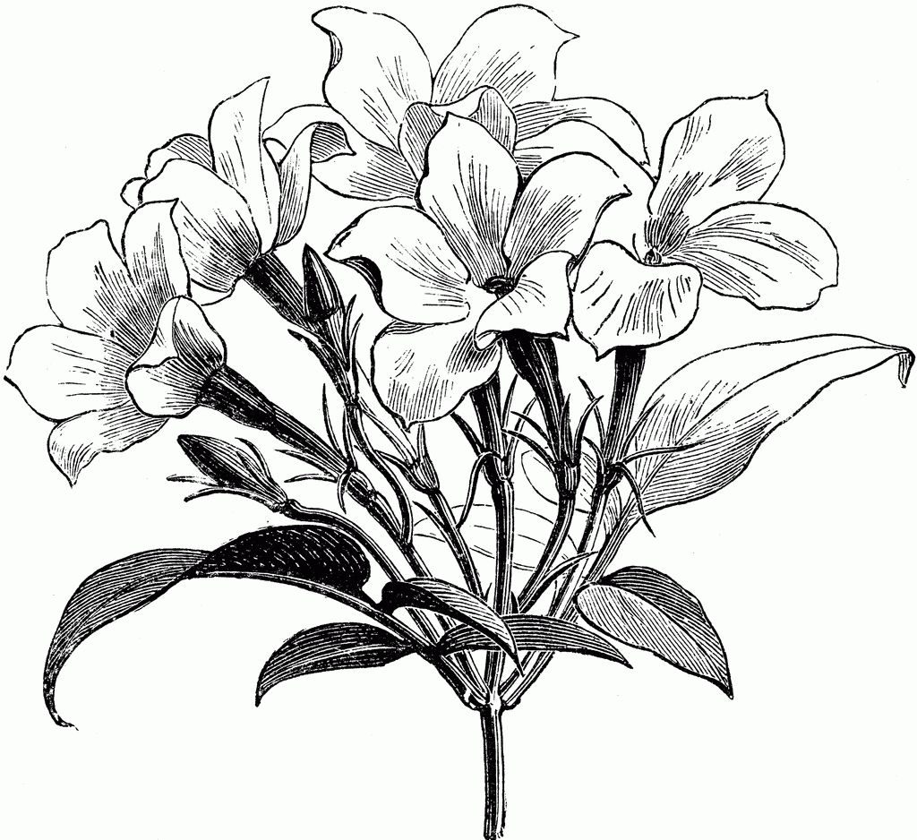 Sampaguita Flower Drawing.