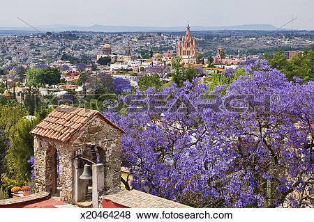 Pictures of Flowering jacaranda tree, San Miguel de Allende.