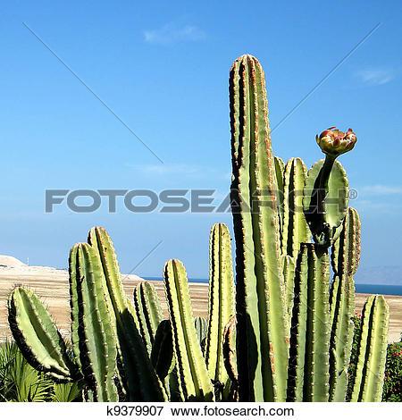 Picture of Ein Gedi San Pedro Cactus k9379907.