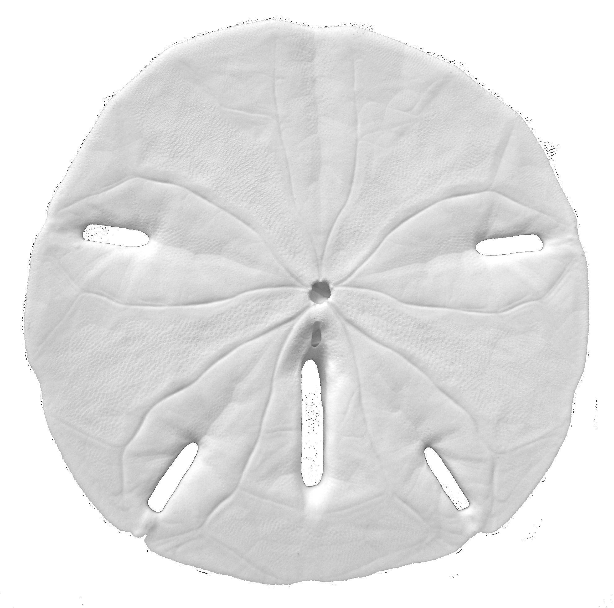 Sand Dollar PNG Black And White Transparent Sand Dollar.