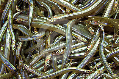 Mediterranean Sand Eel (Gymnammodytes Cicerelus) Stock Photography.