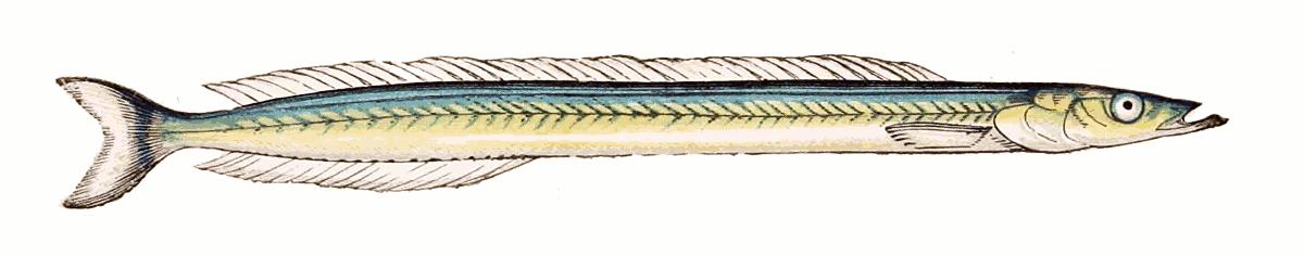 Small sandeel Ammodytes tobianus clipart.