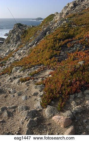 Picture of ICE PLANT heps with erosion control on the coastline at.