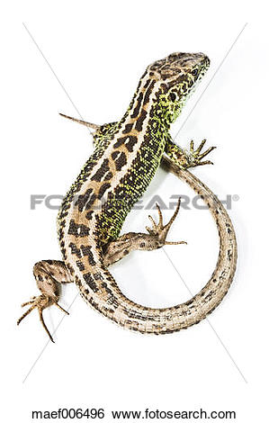 Stock Images of Sand lizard on white background maef006496.