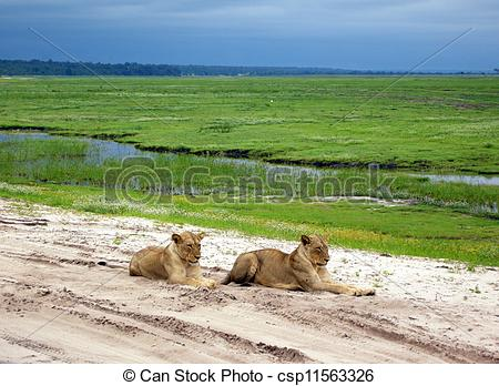 Stock Photo of lioness lying on the sand road in savanna, Botswana.