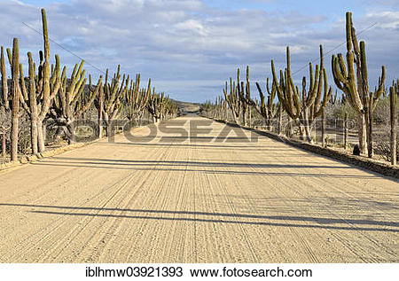 """Stock Photo of """"Sand road, freshly prepared, with Mexican giant."""