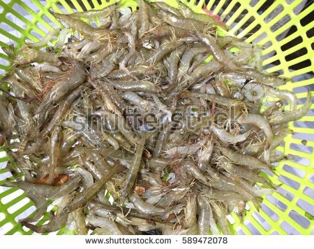 """vannamei Shrimp"" Stock Images, Royalty."