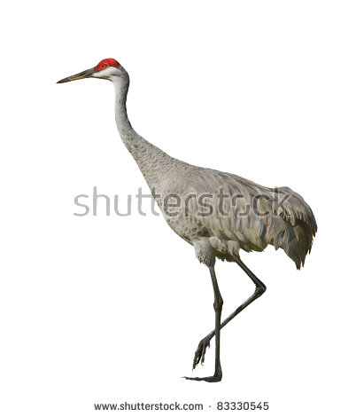 Sandhill Crane Stock Images, Royalty.