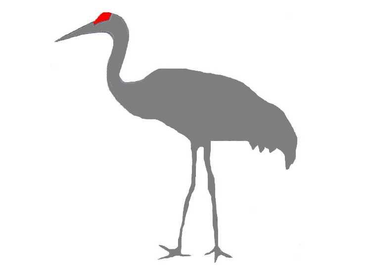 Sandhill Crane Clip Art.