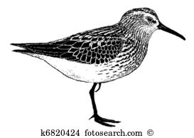 Sandpiper Illustrations and Clip Art. 115 sandpiper royalty free.