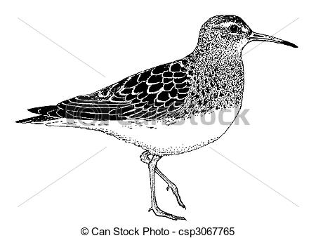 Stock Illustrations of Rock Sandpiper.