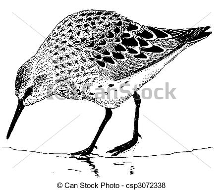 Sandpiper Illustrations and Stock Art. 133 Sandpiper illustration.