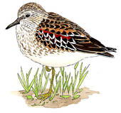 Sandpiper Stock Illustrations.