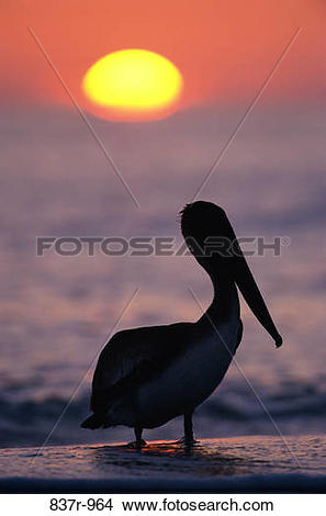 Stock Photo of Silhouette of a Brown Pelican, Sanibel Island.