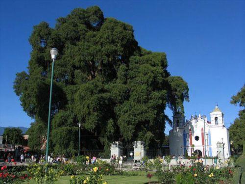 sixpenceee: Arbol del Tule: This Montezuma Cypress is located in.