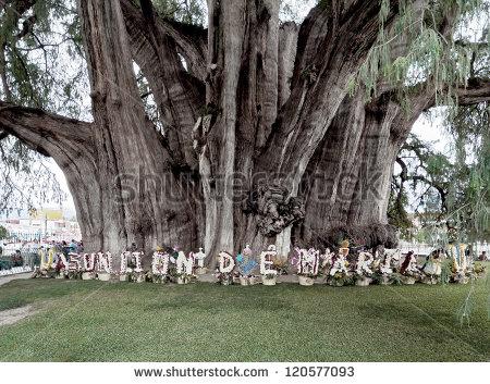 A Giant Tree Near De Santa Maria Del Tule.