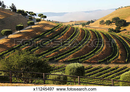 Picture of Vineyards and landscape in Santa Ynez Valley x11245497.