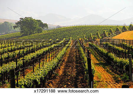 Pictures of Vineyards and landscape in Santa Ynez Valley x17291188.