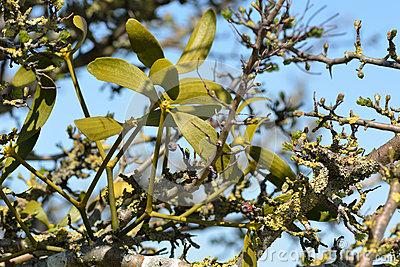 European Mistletoe (Viscum Album) Royalty Free Stock Photos.